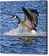 Canada Goose Pictures 111 Acrylic Print
