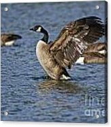 Canada Goose Pictures 165 Acrylic Print