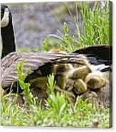 Canada Goose Pictures 192 Acrylic Print
