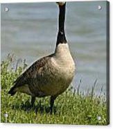 Canada Goose Pictures 214 Acrylic Print