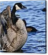 Canada Goose Pictures 84 Acrylic Print