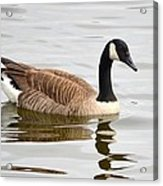 Canada Goose Reflecting In Calm Waters Acrylic Print