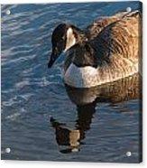 Canada Goose Winter Swim Acrylic Print