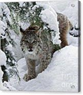 Canada Lynx Hiding In A Winter Pine Forest Acrylic Print