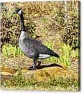 Canadaian Goose Acrylic Print