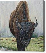 Canadian Bison Acrylic Print