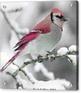Canadian Cardinal Acrylic Print