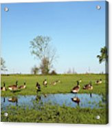 Canadian Geese Community In West Haven Acrylic Print