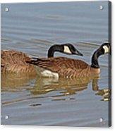 Canadian Geese Mates Acrylic Print