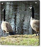 Canadian Geese On Spaulding Pond Acrylic Print