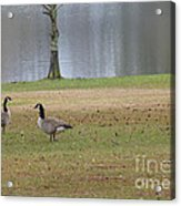Canadian Geese Tourists Acrylic Print