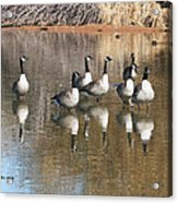 Canadian Geese Watching Acrylic Print