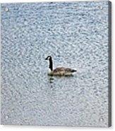 Canadian Goose 2 Acrylic Print
