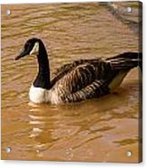 Canadian Goose In On Golden Pond Acrylic Print