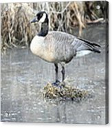 Canadian Goose Standing On A Bog In A Swamp. Acrylic Print