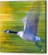 Canadian In Flight Acrylic Print