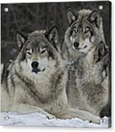 Canadian Timber Wolves Acrylic Print