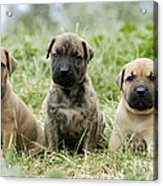 Canary Dog Puppies Acrylic Print