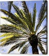 Canary Island Date Palm Acrylic Print