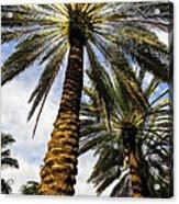 Canary Island Date Palms Acrylic Print
