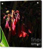 Candelabra  Flower  Acrylic Print