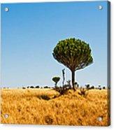 Candelabra Trees Acrylic Print