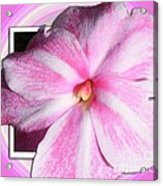 Candy Cane Flower Acrylic Print
