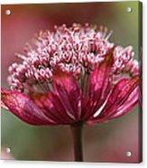 Botanica .. Candy Acrylic Print