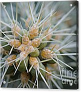 Cane Cholla Cactus Spines Acrylic Print