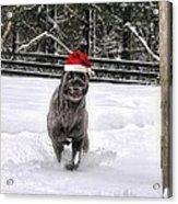 Cane Corso Christmas Acrylic Print