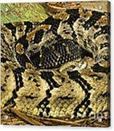 Canebrake Rattlesnake Acrylic Print