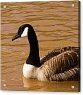 Canidian Goose On Golden Pond Acrylic Print