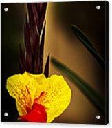Canna Lily 2 Acrylic Print