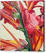 Canna Lily Acrylic Print