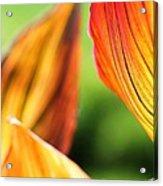 Canna Lily Named Durban Acrylic Print