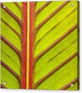 Canna Lily Red Stripe  Acrylic Print
