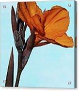Canna X Generalis 'wyoming' Acrylic Print