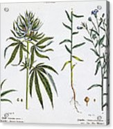 Cannabis And Flax Acrylic Print