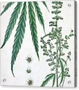 Cannabis Acrylic Print