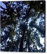 Canopy High Acrylic Print