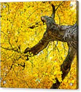 Canopy Of Autumn Leaves Acrylic Print