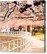 Canopy Of Cherry Blossoms Over A Walking Trail Acrylic Print
