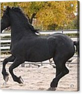 Canter In Spirit Acrylic Print by Royal Grove Fine Art