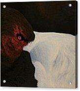 Canvasback  Acrylic Print