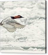 Canvasback Duck In Flight Acrylic Print