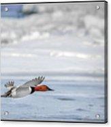 Canvasback Duck On Ice Acrylic Print