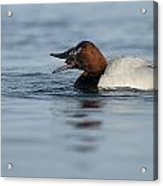 Canvasback On The Mussel Acrylic Print