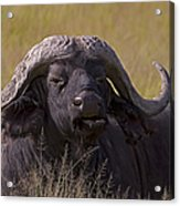 Cape Buffalo   #0574 Acrylic Print