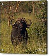 Cape Buffalo   #6851 Acrylic Print