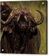 Cape Buffalo   #6883 Acrylic Print